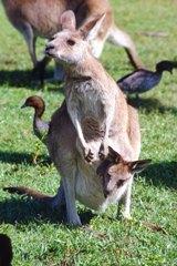kenguru kicsi photo_1952_20060915