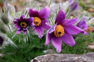 lila virág a lázról